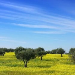 4050807-olives-tree-in-a-field-of-yellow-flowers-